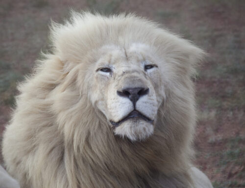 The KING of the Kings : the White Lion !